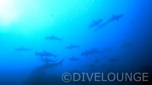 Eine Schule von hammerhaien