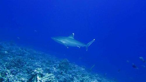 Weißspitzenriffhaie
